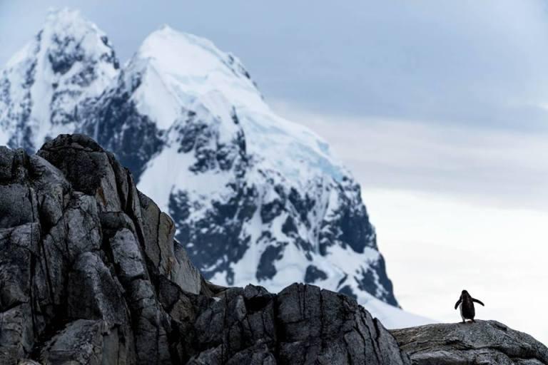 Mountain Penguin Copyright Fraser Morton
